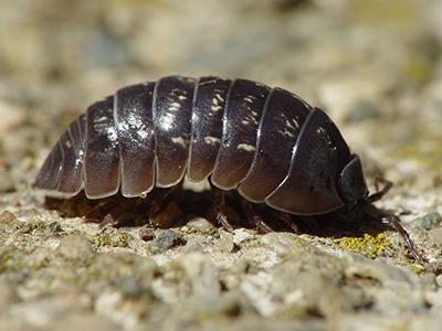 Tesbih Böceği İlaçlama